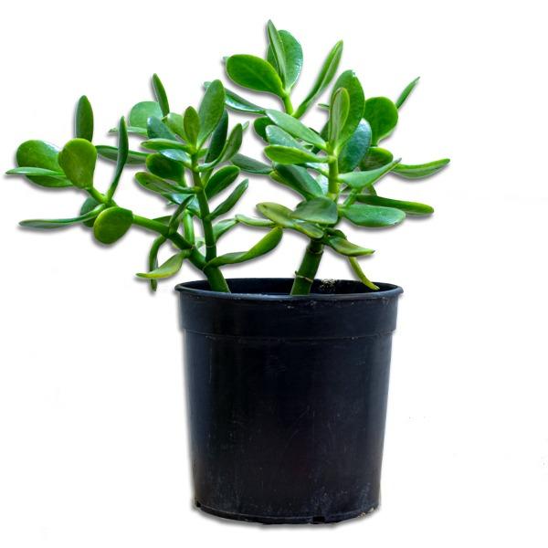 نبات جايد صغير نباتات داخلية