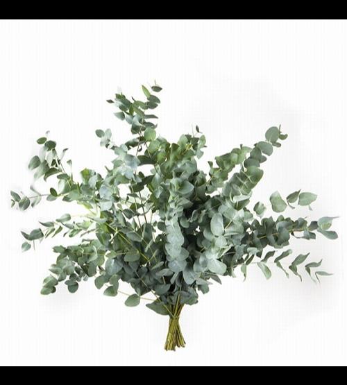 أوكالبتوس - أخضر  الزهور بالجملة