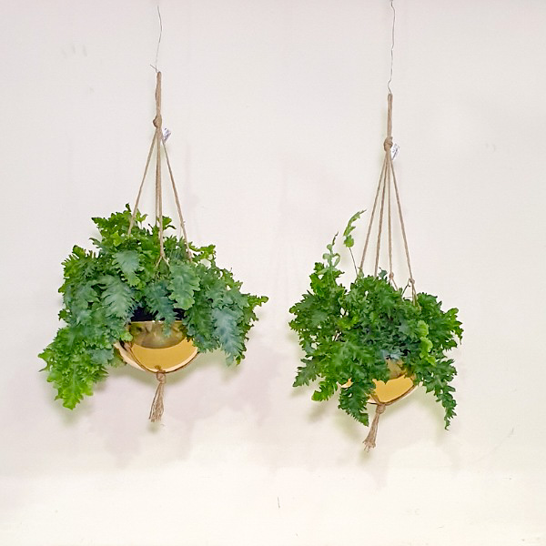 فليبو دافانا نباتات داخلية