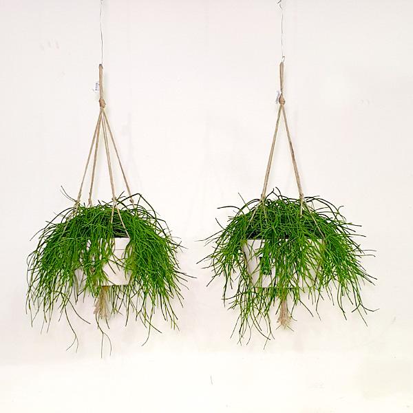 ريبساليس 12 نباتات داخلية