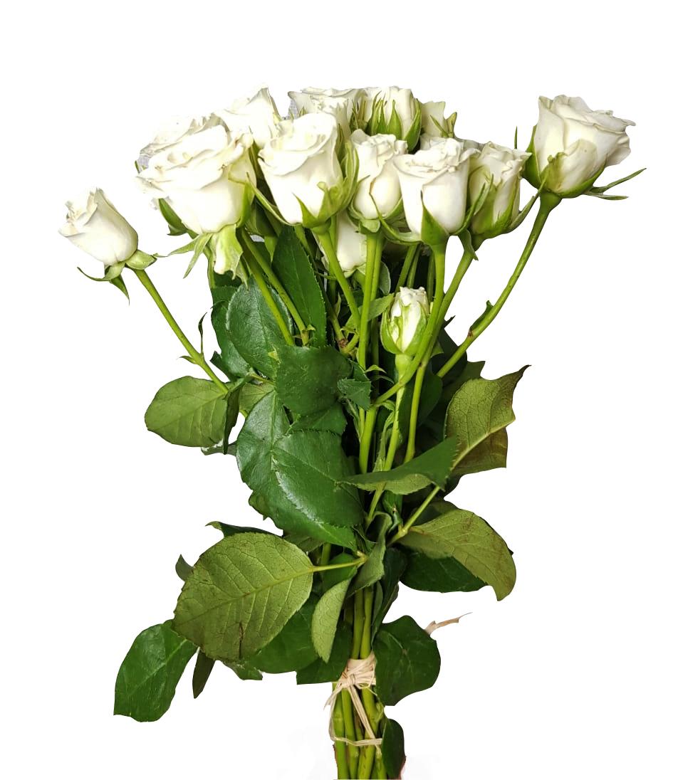 بيبي جوري - أبيض  الزهور بالجملة
