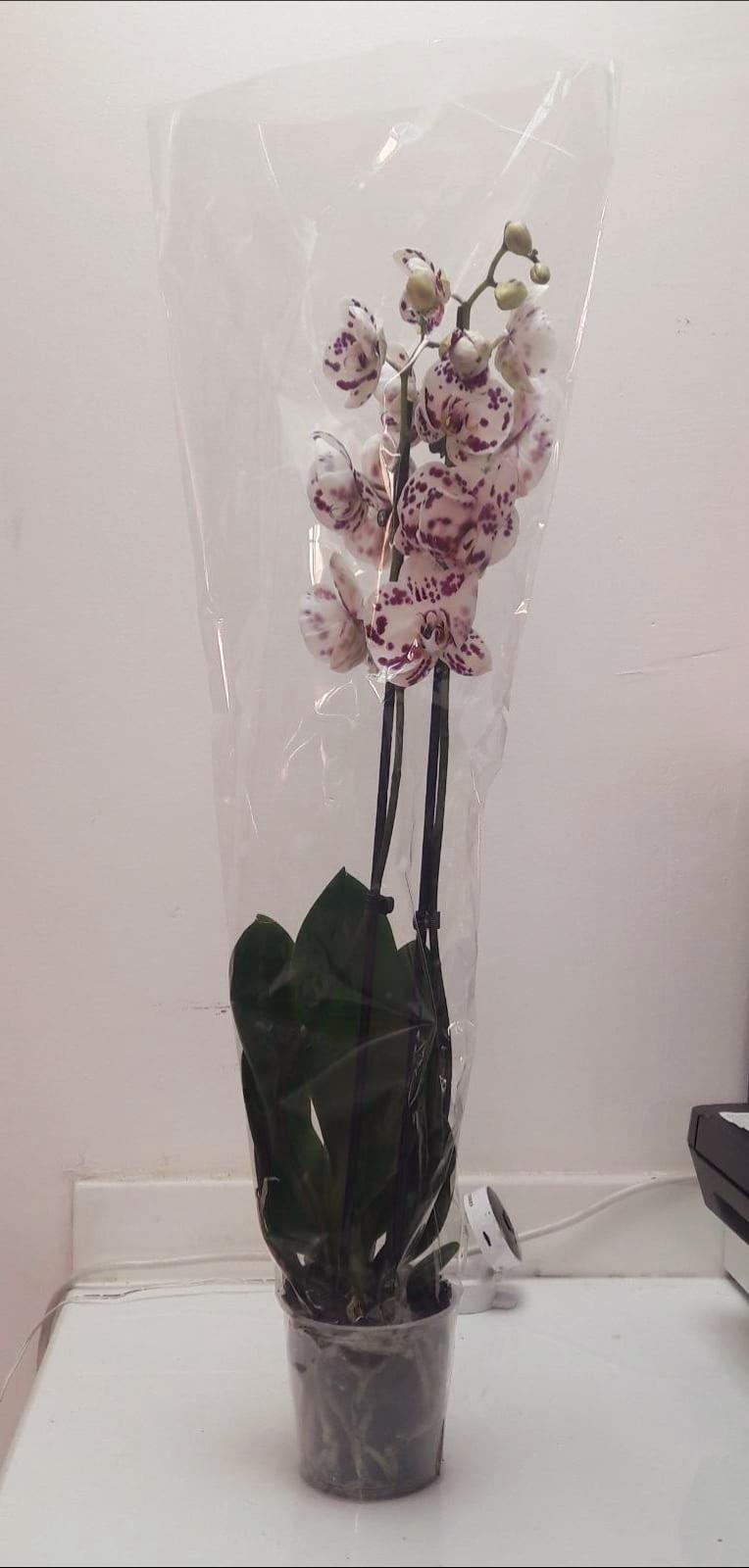 فالاينوبسيس - عاجي نباتات داخلية