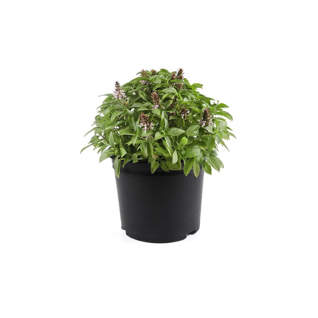 ريحان ( مشموم) نباتات خارجية