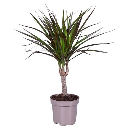 Dracaena Magenta Indoor Plants