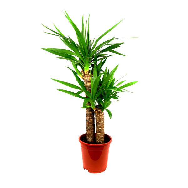 Yucca - Big Indoor Plants