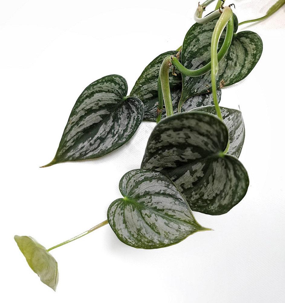 Philodendron Brandtianum Indoor Plants