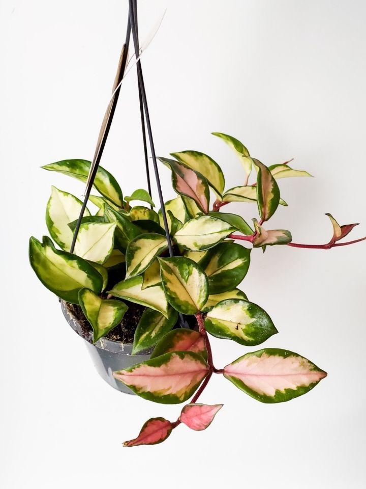 Hoya Carnosa Tri Color Indoor Plants