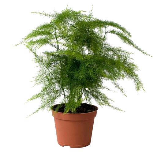 Asparagus Plumosus Indoor Plants