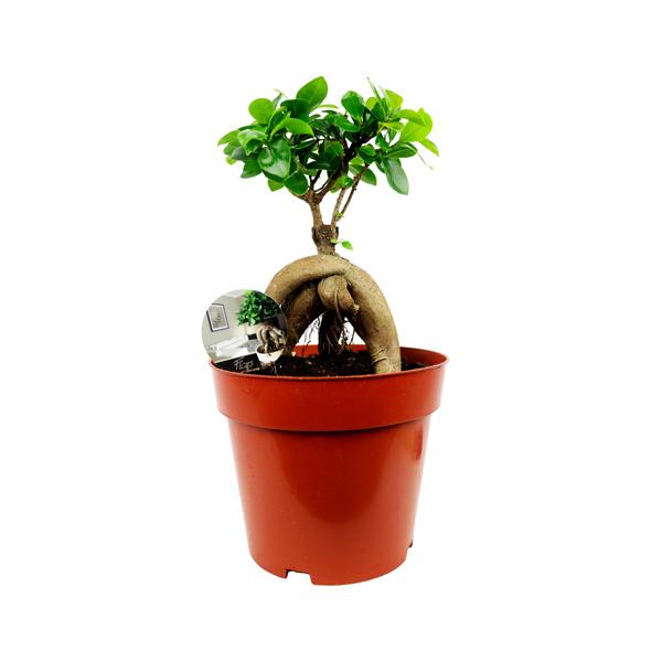 Ficus Microcarpa Indoor Plants