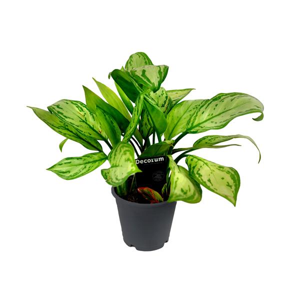Aglaonema Sp Indoor Plants