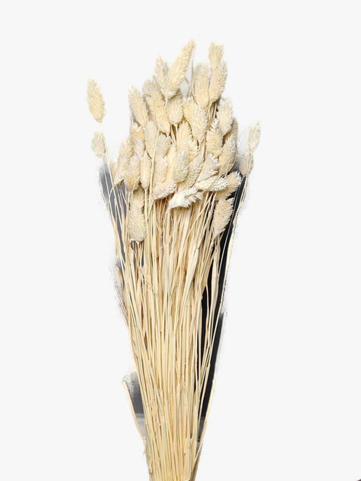Phalaris - White Wholesale Flowers