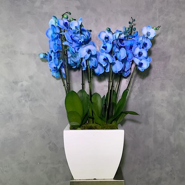 Bleu Dream Orchids Premium Collection
