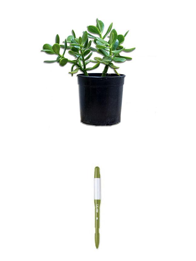 Jade Plant+Sustee Indoor Plants