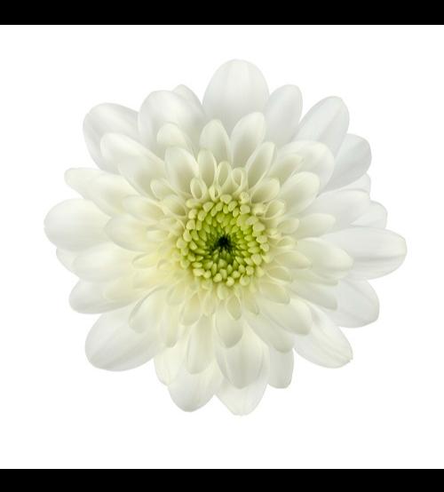 أقحوان  أبيض ' الزهور بالجملة'