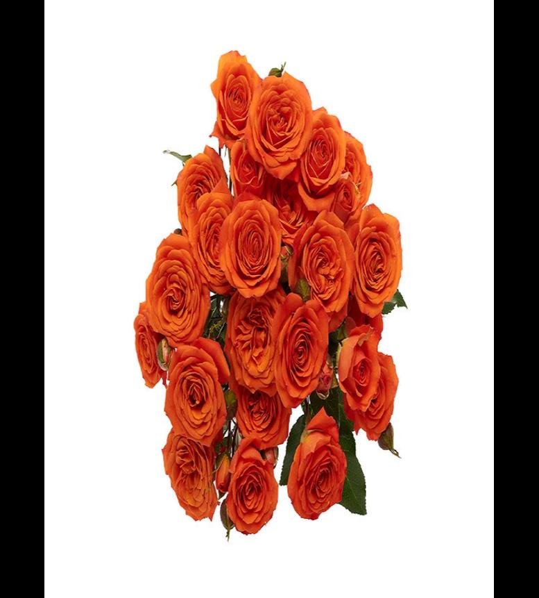 Spray Rose Orange 'Wholesale Flowers'