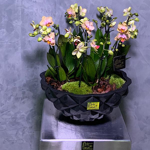 Kolibri Orchid Premium Collection