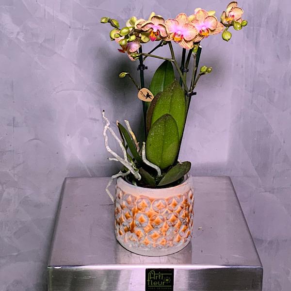 Peach Kolibri Orchids Premium Collection
