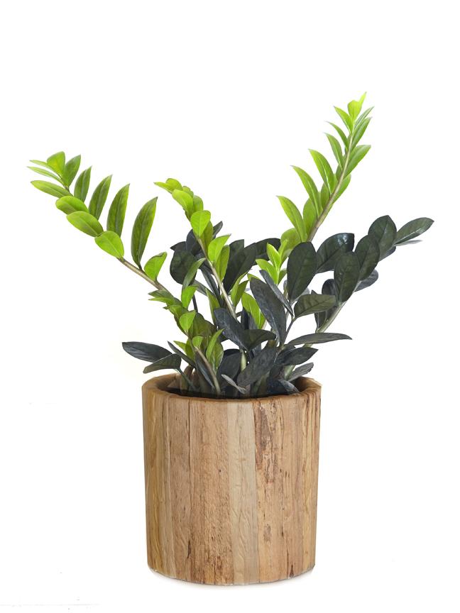 Zamioculcas Black Hyacinth Cement Pot Premium Collection