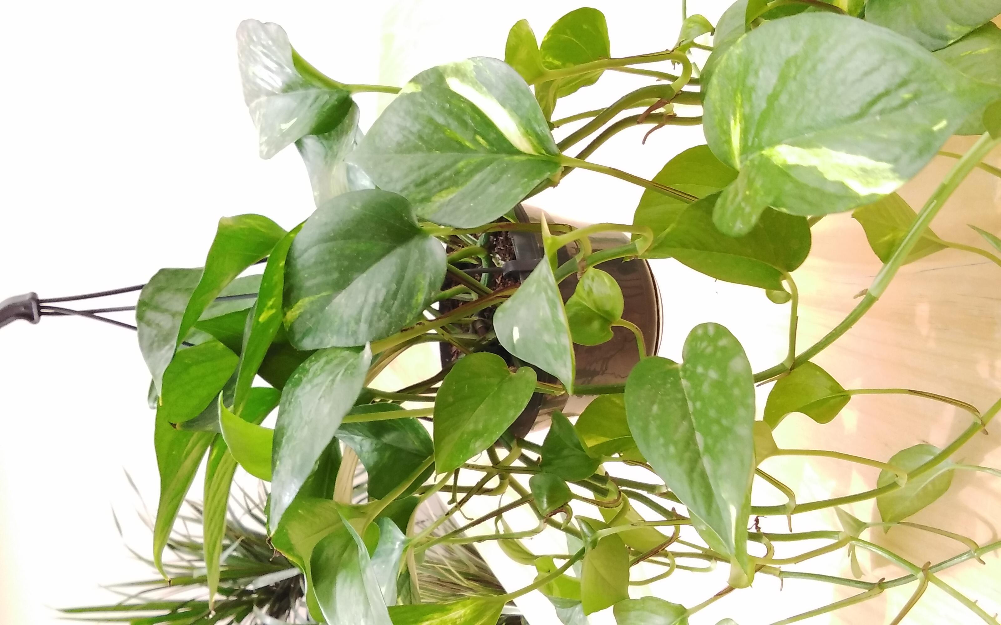 ابيبريمنوم سكيندابسوس معلق نباتات داخلية
