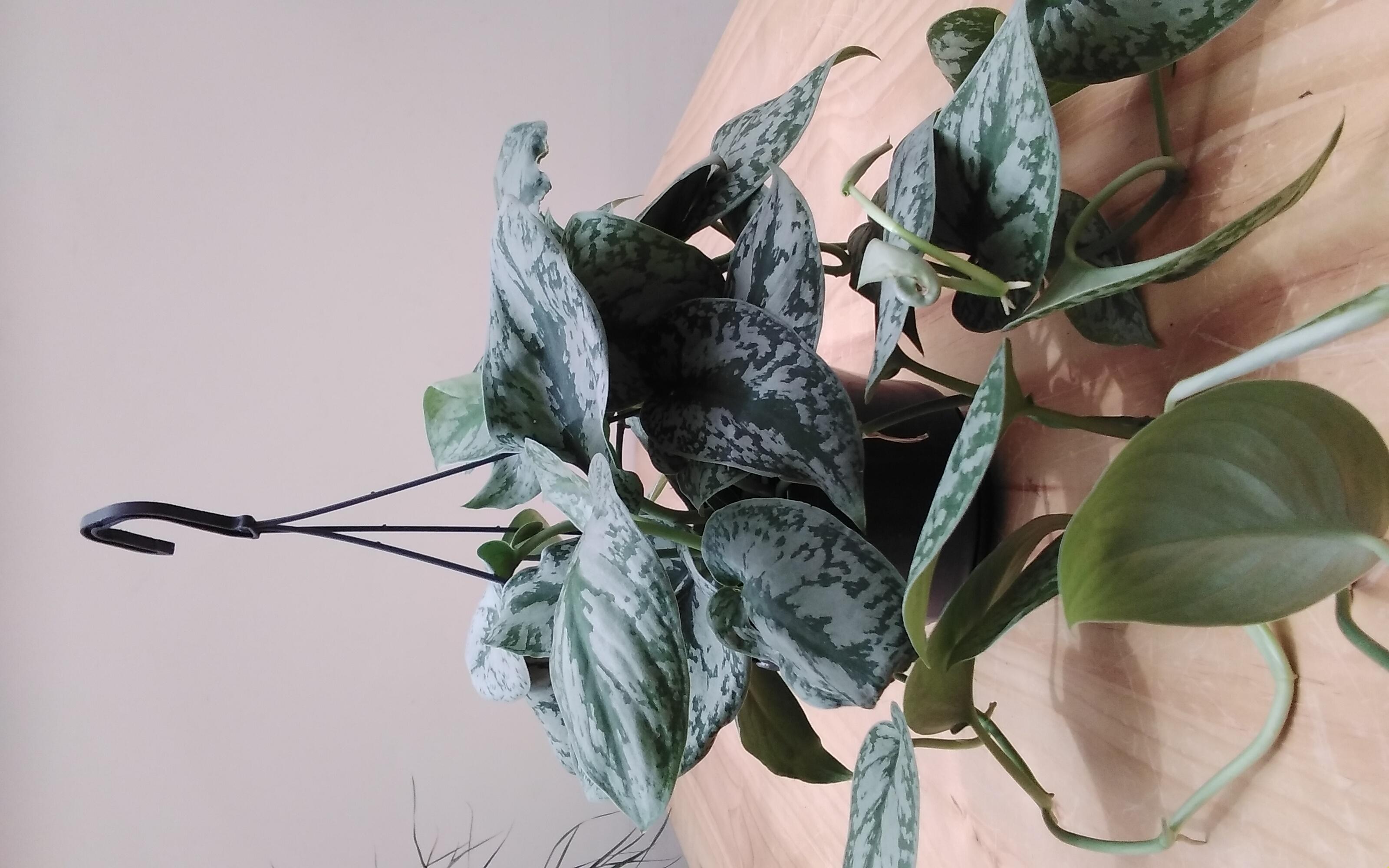 سكيندابسوس بيكتوس أرقيريوس معلق نباتات داخلية