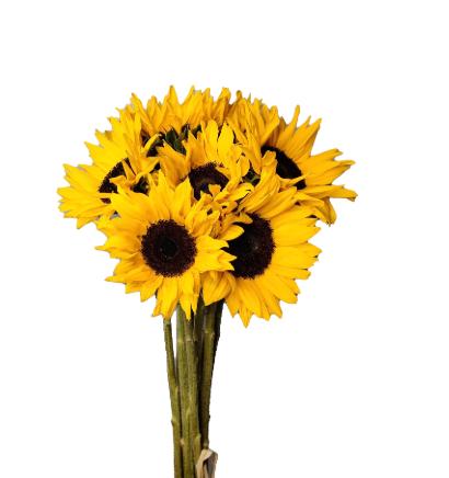 Sunflower 'Wholesale Flowers'