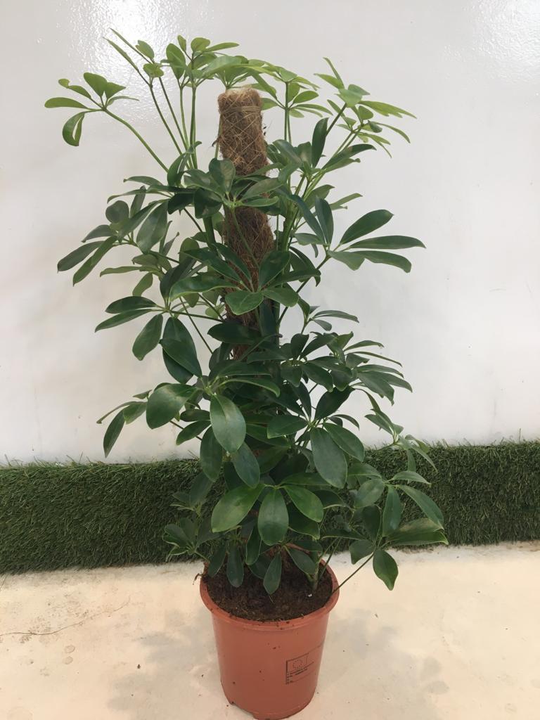 شيفليرا صغير 'نباتات داخلية'