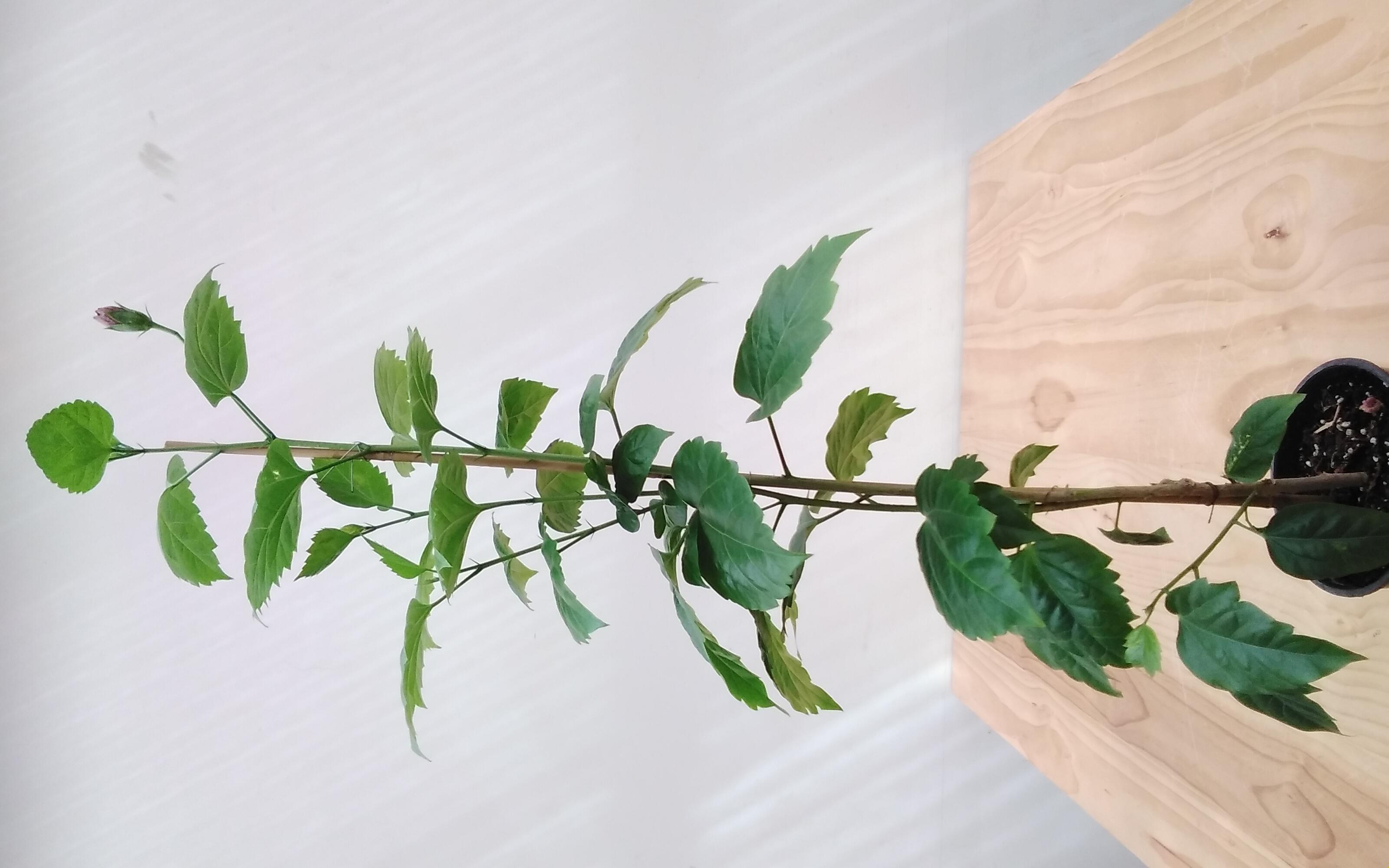 كركديه نباتات داخلية