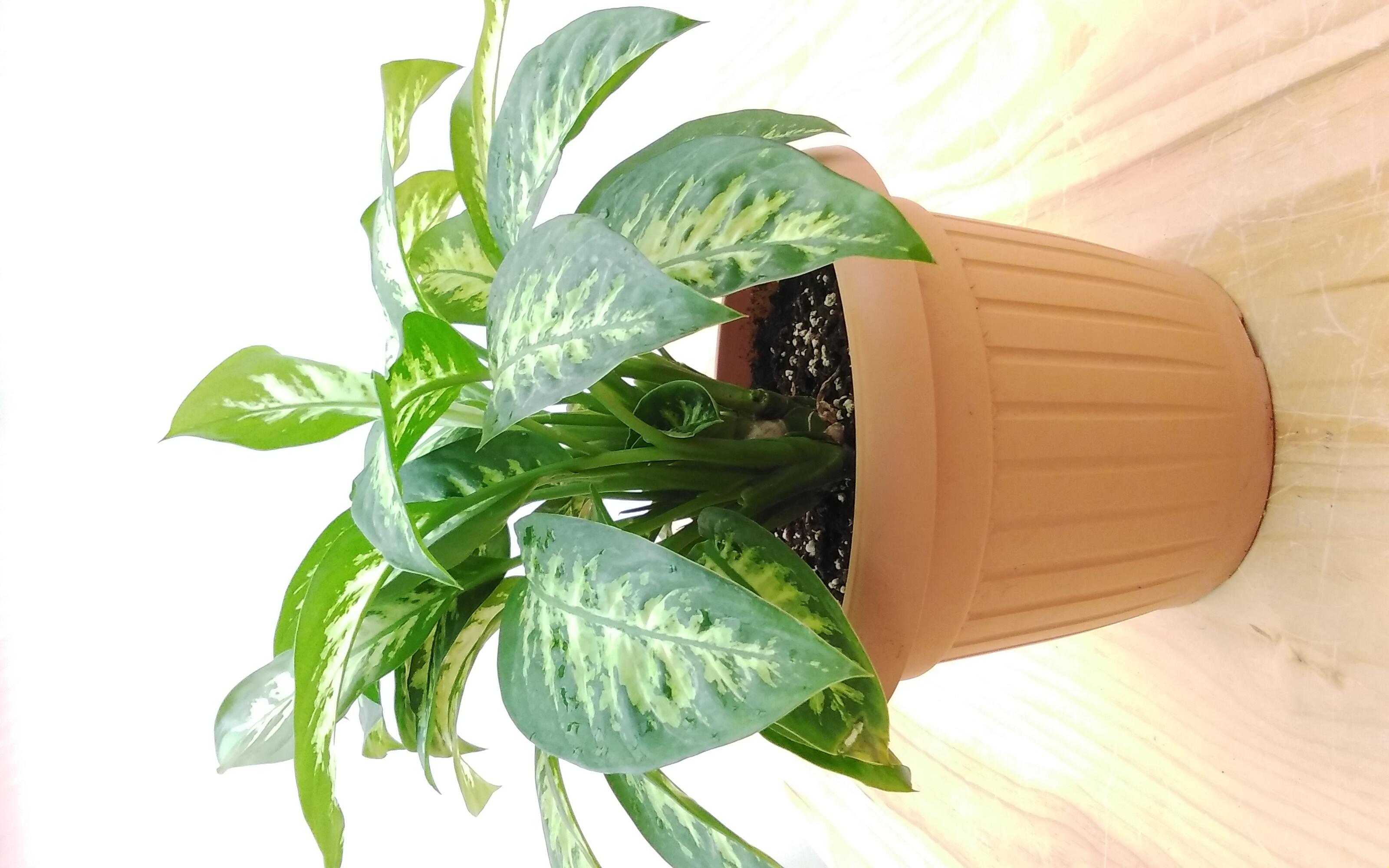 Dieffenbachia T. Snow Indoor Plants