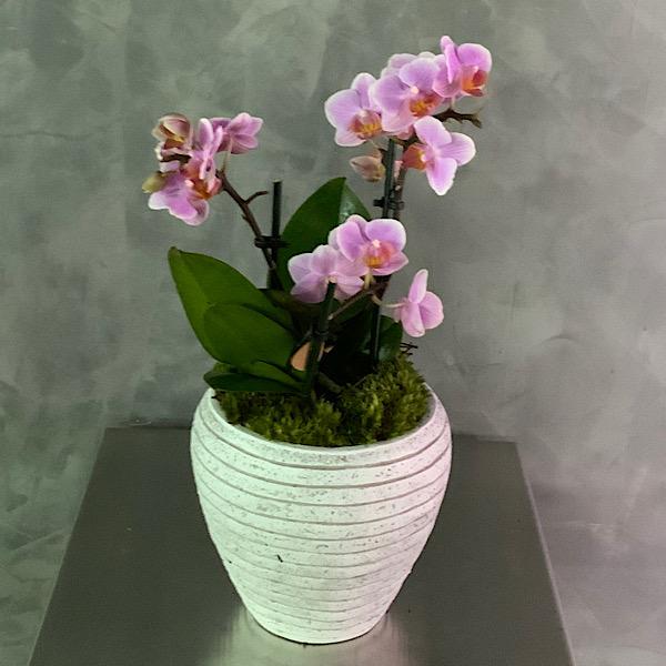 Mini Orchid Premium Collection