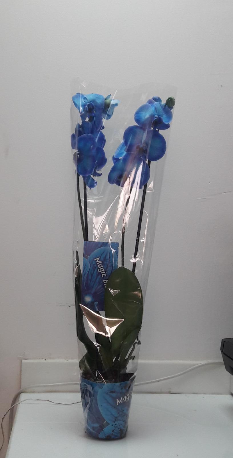 زهور الأوركيد - أزرق نباتات داخلية