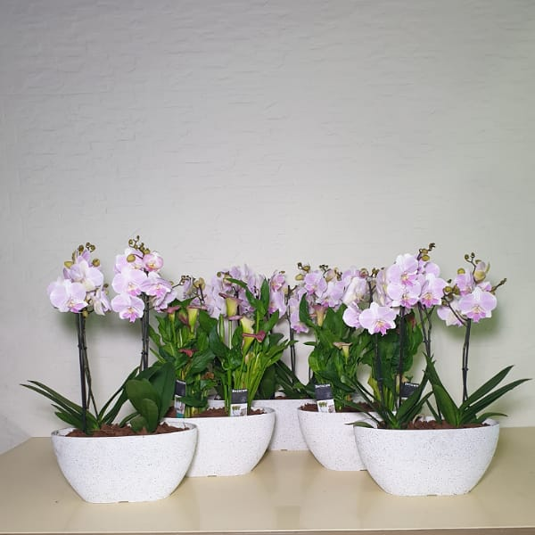 Orchid And Calla Family Premium Collection