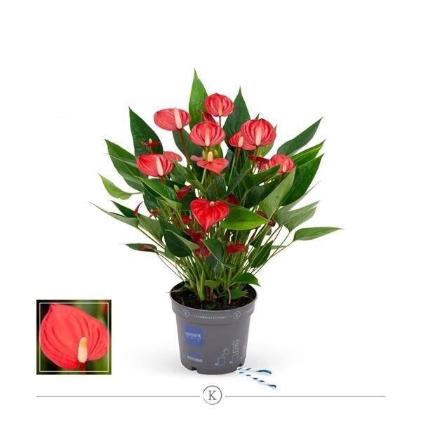 أنثوريوم - أحمر 'نباتات داخلية'