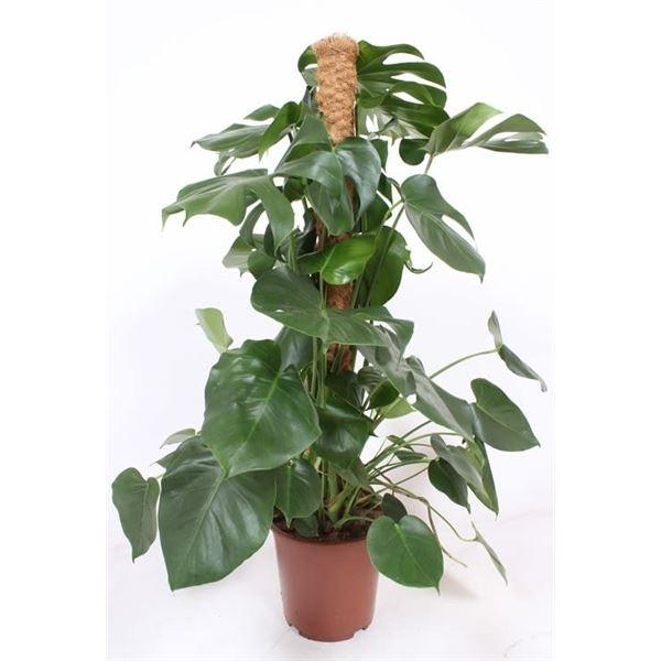 مونستيرا ديليسيوسا  'نباتات داخلية'