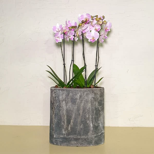 Office Orchid Premium Collection