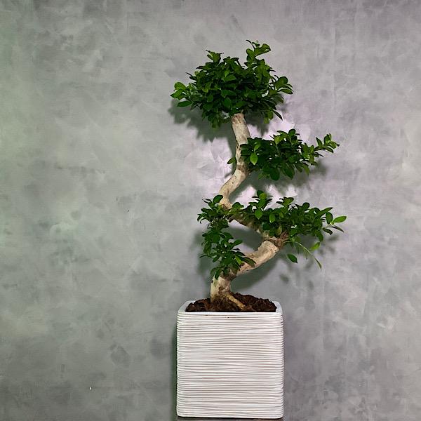 Bonsai Ginseng - XXL Premium Collection