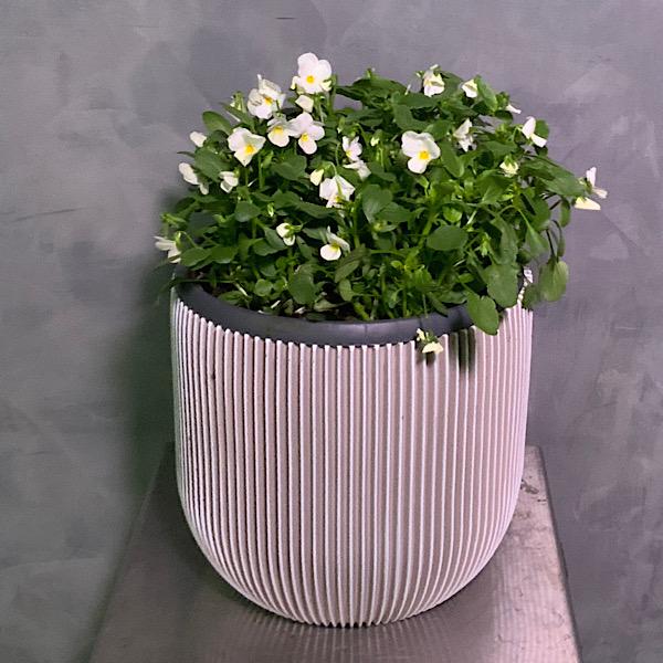 Viola Cornuta Premium Collection
