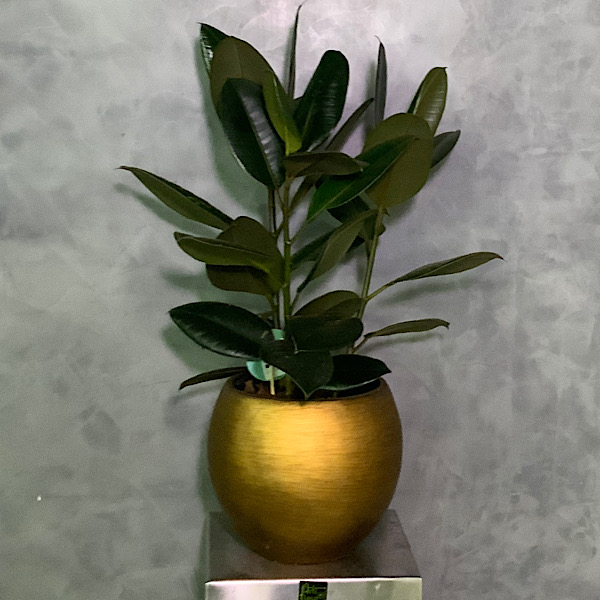 Ficus Elastica Premium Collection