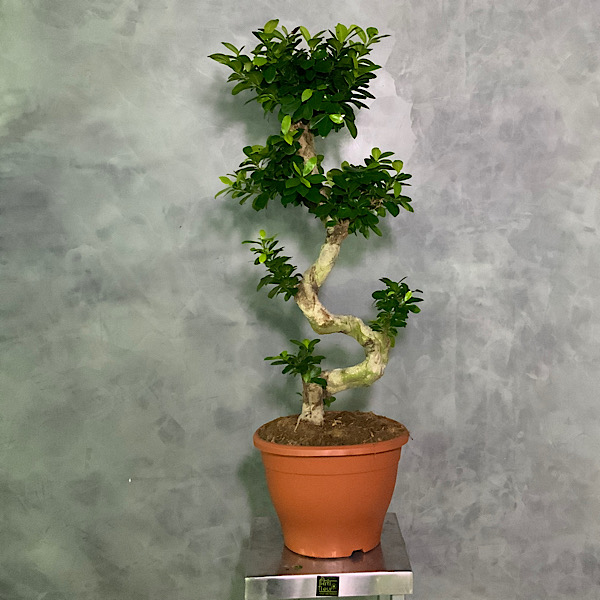 Ficus Ginseng - Lucky Bonsai XXL Indoor Plants