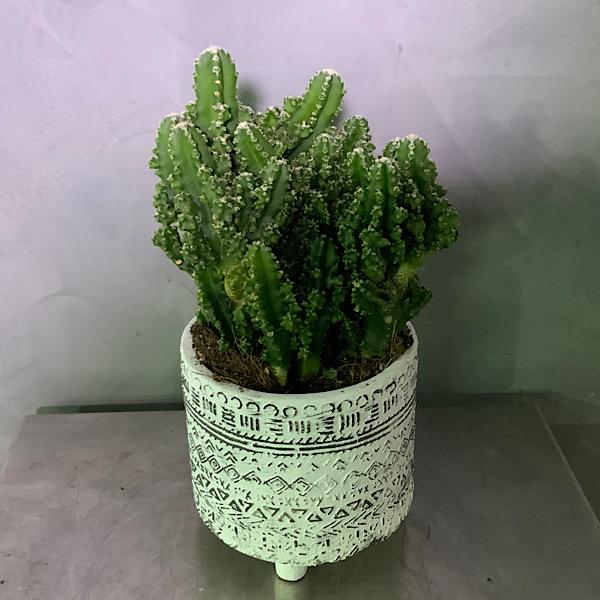 Euphorbia Cactus Premium Collection