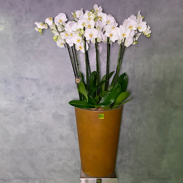 Orchids In Brown Vase  Premium Collection