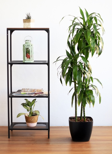 Dracaena Janet With Self Watering Pot - Black 'Premium Collection'