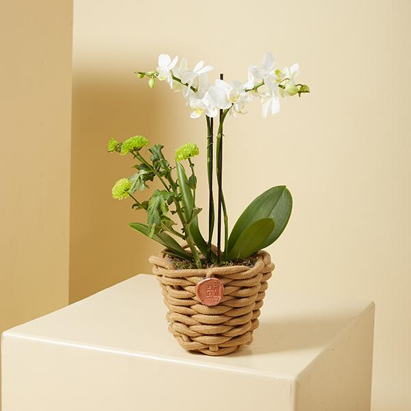 Mini ORCHIDS 1 Indoor Plants