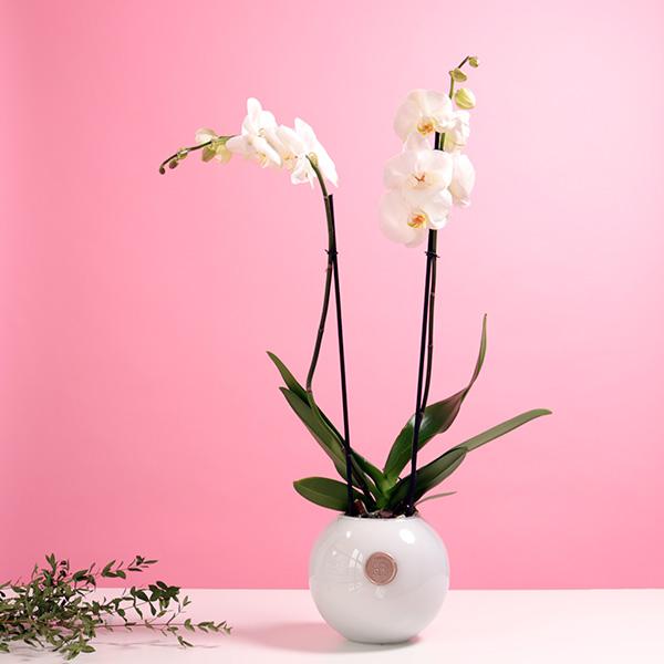 سيمبل اوركيد ايليقانس نباتات للمكاتب
