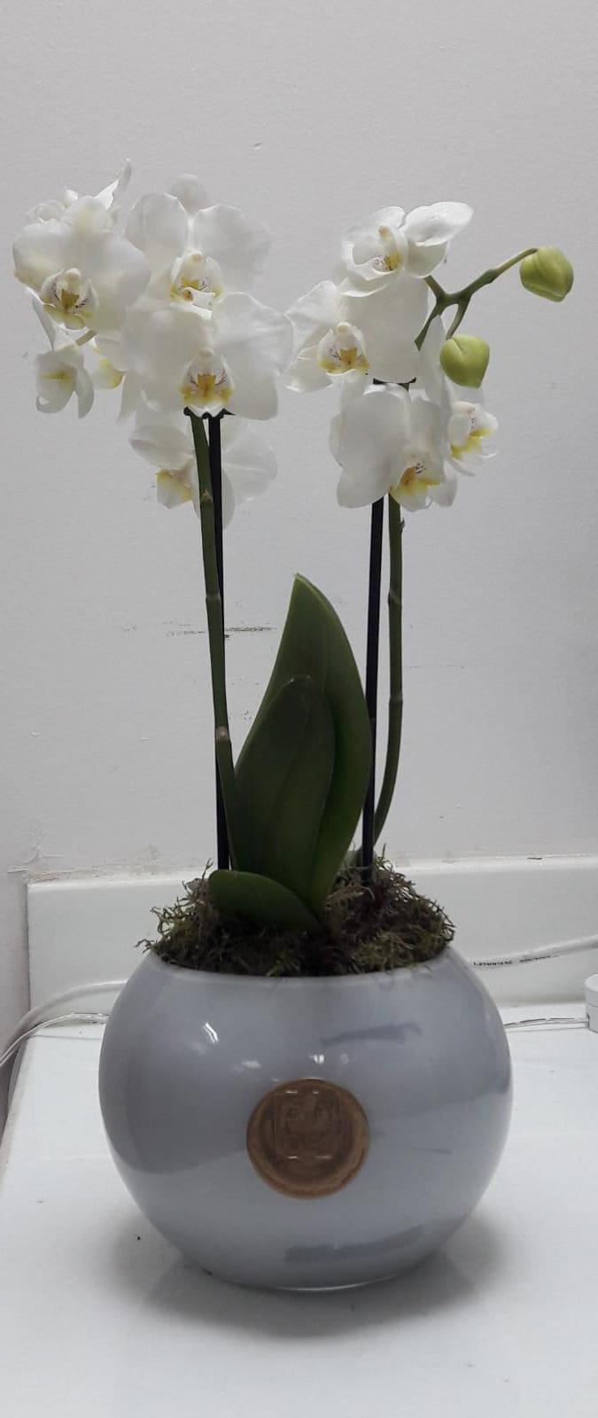 أوركيد صغير  نباتات للمكاتب