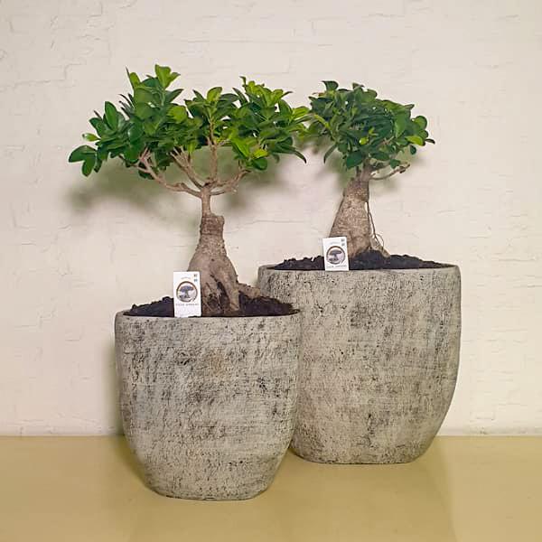 أواني بونساي الحجرية نباتات داخلية