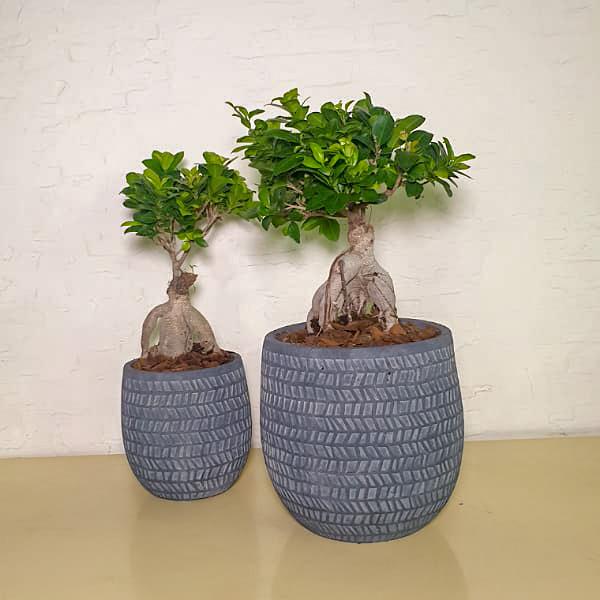 Bonsai In Gray Pots Premium Collection