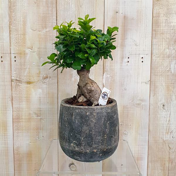Mini Bonsai 1 Premium Collection