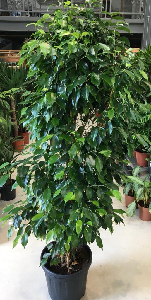 فيكس نباتات خارجية