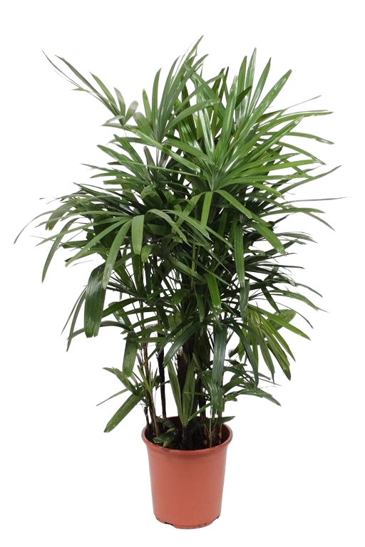 Rhapis Excelsa Indoor Plants