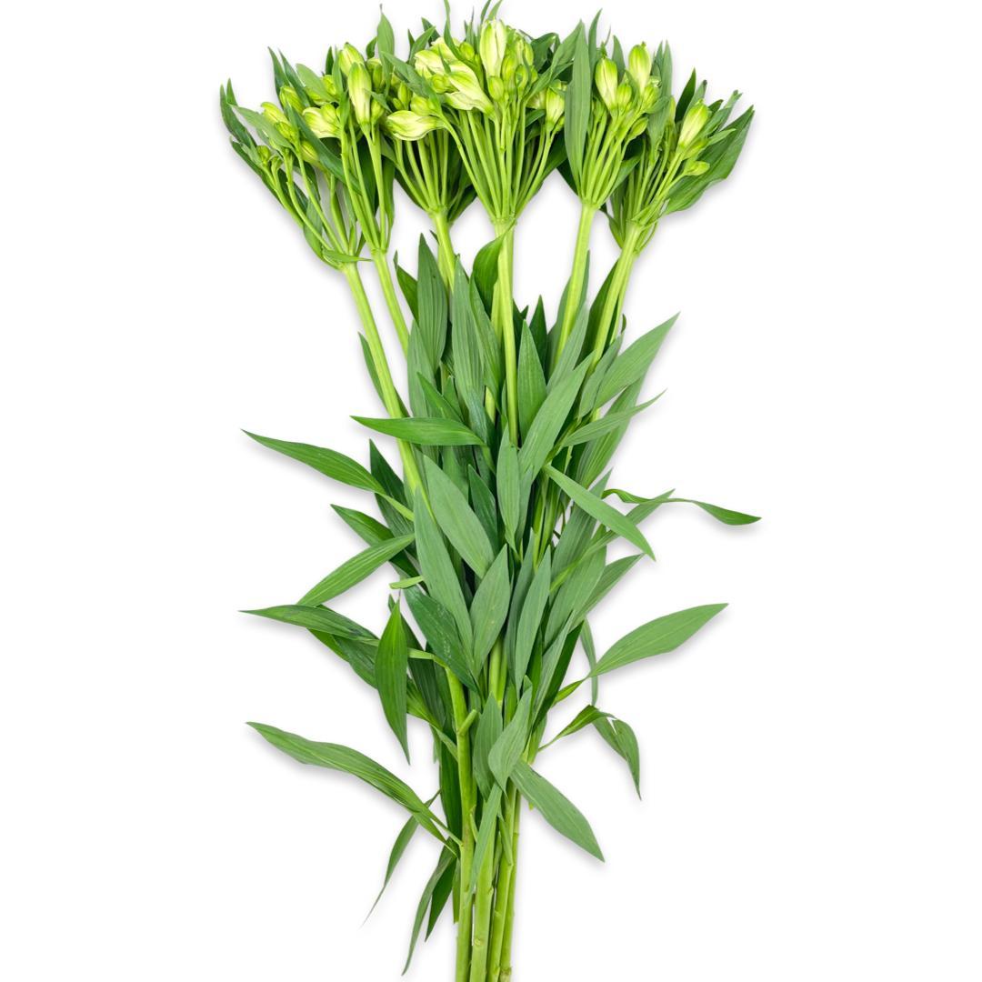 ألستروميريا - أبيض  الزهور بالجملة